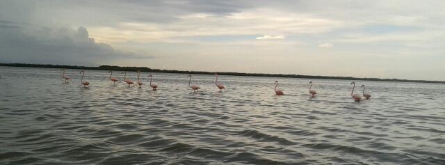 Flamingos in Naturreservat Rio Lagartos